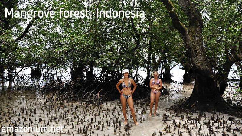 Мангровый лес в Индонезии изображен на этой фотографии. You can see Mangrove forest in Indonesia on this picture.
