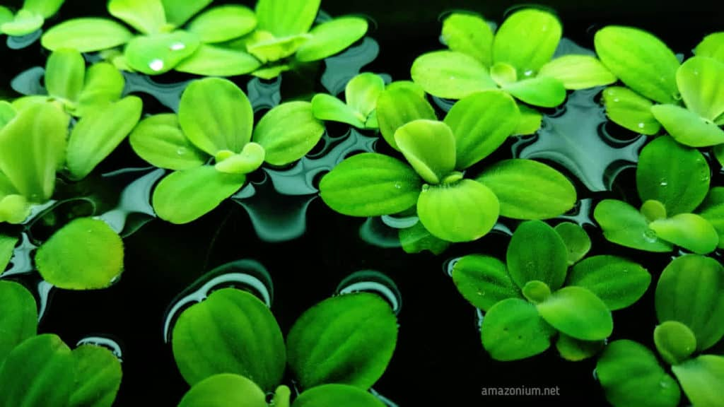 Pistia stratiotes on water top can be seen in this image. Пистия на поверхности воды изображена на данном фото.