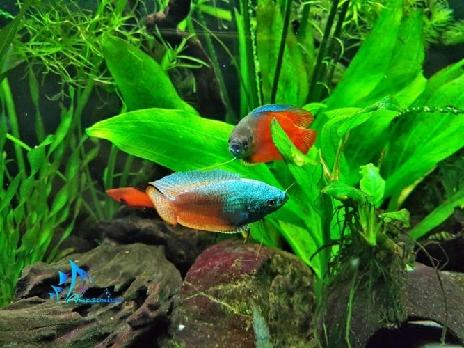 Dwarf gourami ( Colisa laia) - bright spot in your aquarium.