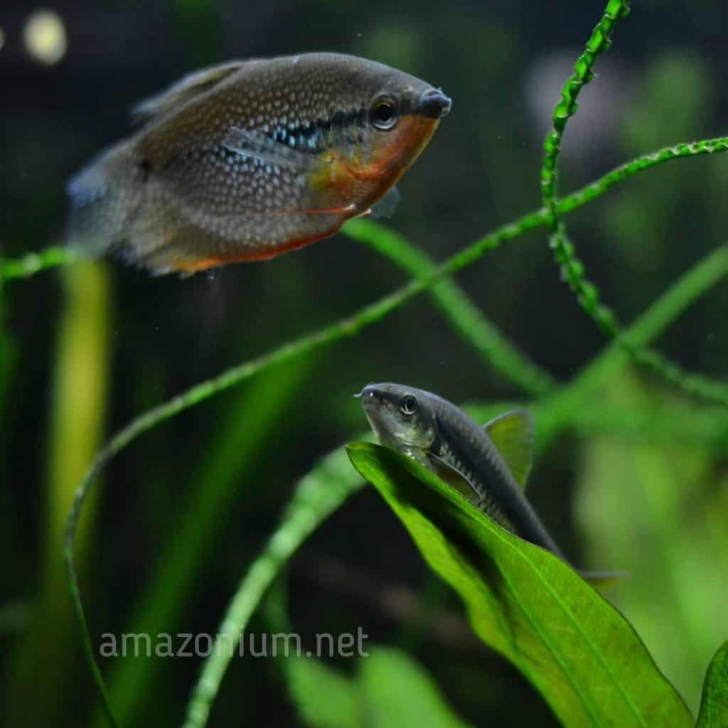Algae eater and perl gourami can be seen in this image. Водорослеед и жемчужный гурами изображенны на данном фото.
